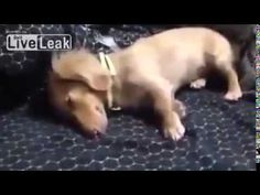 Dachshund Digging In Her Sleep Is The Stuff that Dream Footage is Made Of - Fido4ever