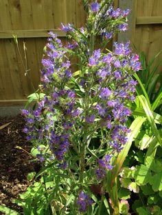 Blueweed Vipers Bugloss (echium vulgare): Borage Family biennial border or wildflower garden subject native to Europe.