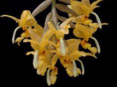 Stanhopea stevensonii
