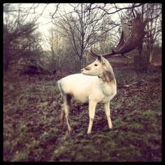 Knole Deer Park, Sevenoaks A friendly pair of antlers © Natalie Seldon