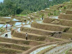Working in the fields of bali