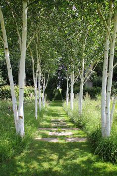 Jardins de maisicourt -cette allée de bouleaux aux troncs graphiques ! Plus