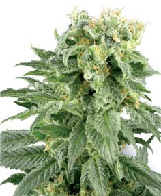 Double Gum Seeds - Sensi Seeds. 80% Indica. Large Yield. Compact Plant. Short flowering period (45-50 days). 10 seeds for $19 Euros. A deliciously sweet flavour is just one of the remarkable qualities of this cannabis strain. At her best, Double Gum has a taste and smell reminiscent of classic pink bubble-gum and a power that will surprise you.