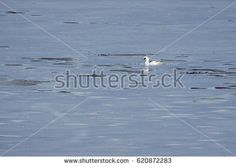 Stock Photo: Male smew swimming in icy water of a frozen lake in winter. -
