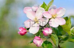 fleur de pommier: Apple Blossom Banque d'images