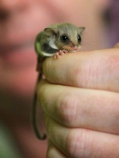 baby sugar glider.  They are so cute! too bad they are so high maintenance.