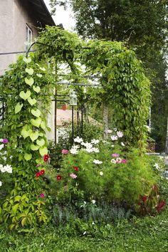 Ruusupergolaa kiertävät viiliviinit, humalat, ruusupapu ja elämänlanka. Jalo-ruusut, laventelit ja kosmokset kaunistavat pergolaa.