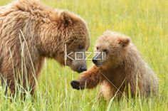 mother and cub - A mother bear and her cub frolick in the fields
