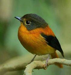 Black and orange flycatcher India