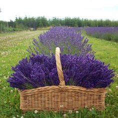 Media cache pinimg lavender plant care - a