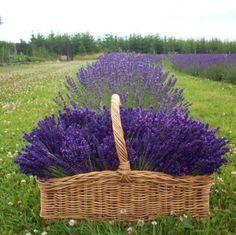 http://media-cache-ak0.pinimg.com/736x/5f/2d/0d/5f2d0de398e636036119b6fc90886403.jpg #LavenderFields