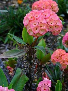 (Euphorbia milii) Crown of Thorns Cactus Unusual Plants, Rare Plants, Exotic Plants, Exotic Flowers, Beautiful Flowers, Euphorbia Milii, Cacti And Succulents, Planting Succulents, Planting Flowers