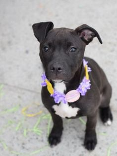 Safe ❣ A1067343_Squiggle2....FEMALE, BLACK / WHITE, AM PIT BULL TER MIX, 5 mos STRAY – STRAY WAIT, NO HOLD Reason STRAY...SAFE