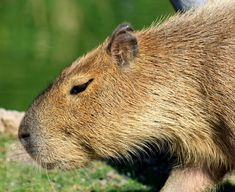 Free Pictures, Free Images, Canon Eos 1100d, Capybara