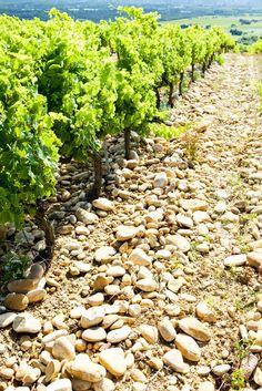 Vineyard in Chateaneuf du Pape - the stones keeps the vines warm so they grow through the night Premium wines delivered to your door.  Get in. Get wine. Get social.