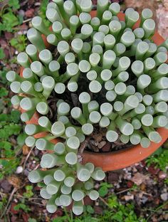 "Fenestraria is a monotypic genus of succulent plants in the family Aizoaceae. The species is also called ""Babies Toes"" or ""Window Plant."""
