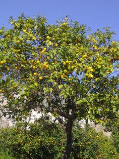 Todo sobre limoneros: cómo y dónde plantarlos. Cuidados específicos | Arboles, Frutales, Riego | Flor de Planta