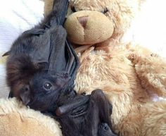 PetsLady's Pick: Cute Snuggling Bat Of The Day ... see more at PetsLady.com ... The FUN site for Animal Lovers