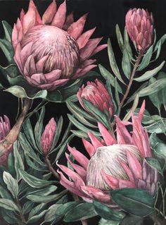 King Proteas on Dark Background - art - Wallpaper Protea Art, Protea Flower, Flowers, Botanical Drawings, Botanical Prints, Flower Backgrounds, Dark Backgrounds, Art Floral, Deco Luminaire