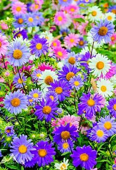 All purple flowers are beautiful and with meanings of their own. Beautiful purple flowers for your garden May Flowers, Amazing Flowers, Pretty Flowers, Colorful Flowers, Purple Flowers, Spring Flowers, Wild Flowers, Flowers Pics, Purple Daisy