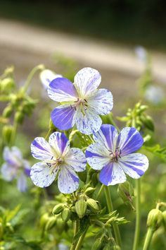 Geranium Delft Blue pratense (TM) Improved Splish Splash, Stronger Growth With More Fl Owers. More Compact. White Flowers With Delft Blue Paintings.