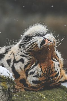 ~ love the dying tiger*