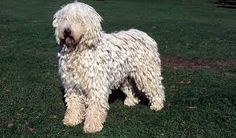Image result for Komondor