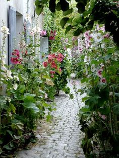 hollyhock path: need to under plant with seeds that bloom in late summer (holly hocks are mid-summer blooming)