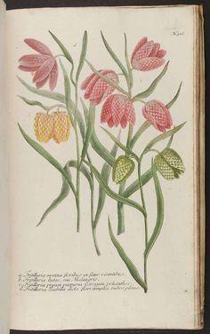 Fritillaria meleagris L. [as Fritillaria Isabella dicta flore simplici rubro pleno] / Weinmann, J.W., Phytanthoza iconographia, vol. 2: t. 516, fig. d (1739) [unsigned]