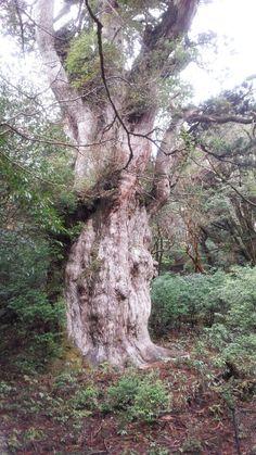 縄文杉[yakushima]