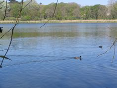 Canard sur l'étang du Relecq-Kerhuon