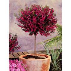 Ce joli petit arbuste orne à merveille terrasses et balcons. Sa longue floraison débute au printemps et se prolonge tout l'été. Elle se termine par une fructification très gracieuse. Son feuillage varié et persistant est d'un beau vert tendre. Le boronia répand un agréable parfum citronné qui embaume son environnement. <br><br>Taillé sur tige, cet arbuste présente un port élégant. La forme arrondie de son feuillage se prête parfaitement à ce mode de culture. Ses petites fl...