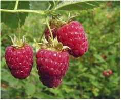 how to grow raspberries - great info on pruning and caring for these plants.  in yard front to back: Canby Red Raspberry , Indian Summer Everbearing Red Raspberry, Willamette Red Raspberry, Fall Gold Everbearing Golden Raspbrry