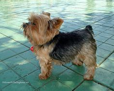 Stocky little Yorkie...I want one like this.