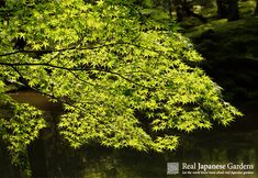 Maple leaves in Saihō-ji (Koke-dera) | Real Japanese Gardens http://www.japanesegardens.jp/gardens/famous/000001.php