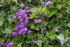 Dipogon lignosus Cape Sweet Pea