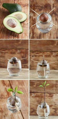 How to grow an avacado