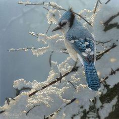 Blue Jay on snowy fence.