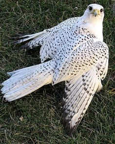 Gyrfalcon (Falco rusticolus), white morph - Accidental in PA, especially the white form. Usually only seen from Hawk Watches during Fall migration.
