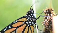 Loss of milkweeds means monarchs could go extinct - Futurity