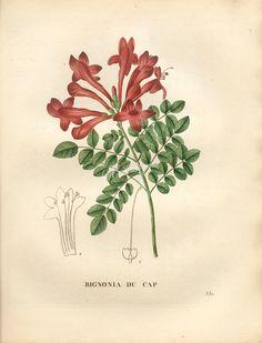 Tecomaria capensis subsp capensis      ...