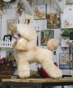.-Repinned- Beautiful job on the show puppy trim.