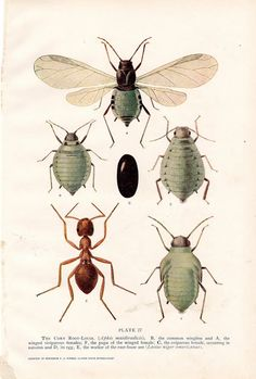 The corn Root-Louse. Modish Vintage: insect prints