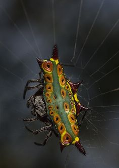 Rainbow orbweaver spider…
