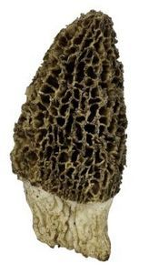 Morel mushrooms are fairly common in the spring and early summer in the United States. Morels are often found near dead trees, especially elms and can be found in woodland.