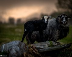 Baa Baa Black Sheep, Counting Sheep, The Good Shepherd, Farm Life, Cattle, Farm Animals, Animal Photography, Pet Birds, Animal Pictures