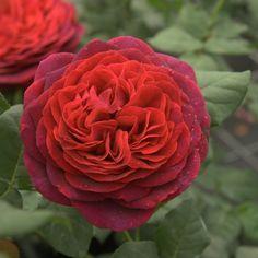 Rose 'Astrid Gräfin von Hardenberg'