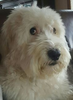 It cannot be disputed that pets are great companions for kids and adults. Besides being mere companions, scientific evidence has proven that pets can promo Goldendoodles, Cockapoo, Labradoodles, I Love Dogs, Cute Dogs, Teddy Bear Dog, Dogs And Puppies, Doggies, Sheep Dogs