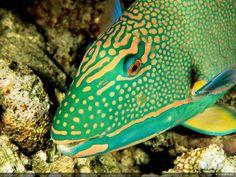 fonds d'écran gratuit - Poissons colorés: http://wallpapic.fr/ocean-et-mer/poissons-colores/wallpaper-11379