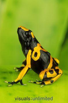 Bumble Bee Poison Frog or Yellow-banded Poison Dart Frog (Dendrobates leucomelas), native to Peru.